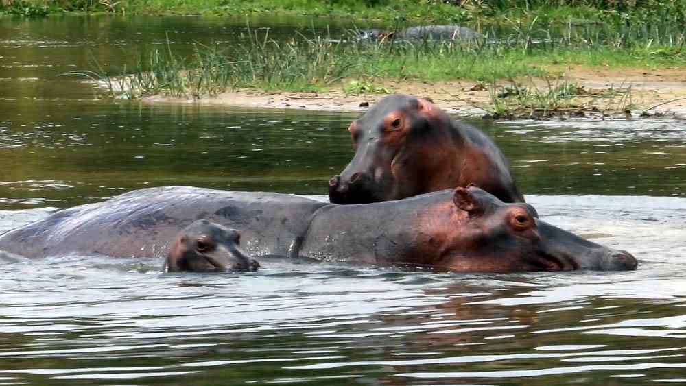 hippos_rt_web